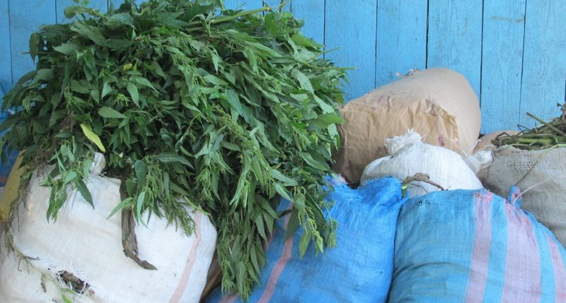 Following Herbs Through the Supply Chain: Wild Collection