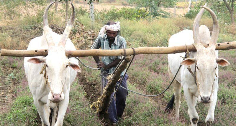 Ploughing Tulsi in Karnataka, India