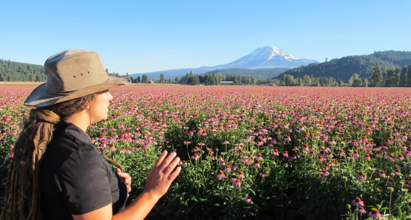 Cultivating Echinacea at Trout Lake Farm