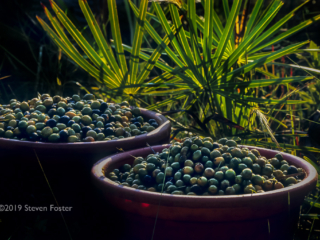 Is the Saw Palmetto Supply Sustainable?