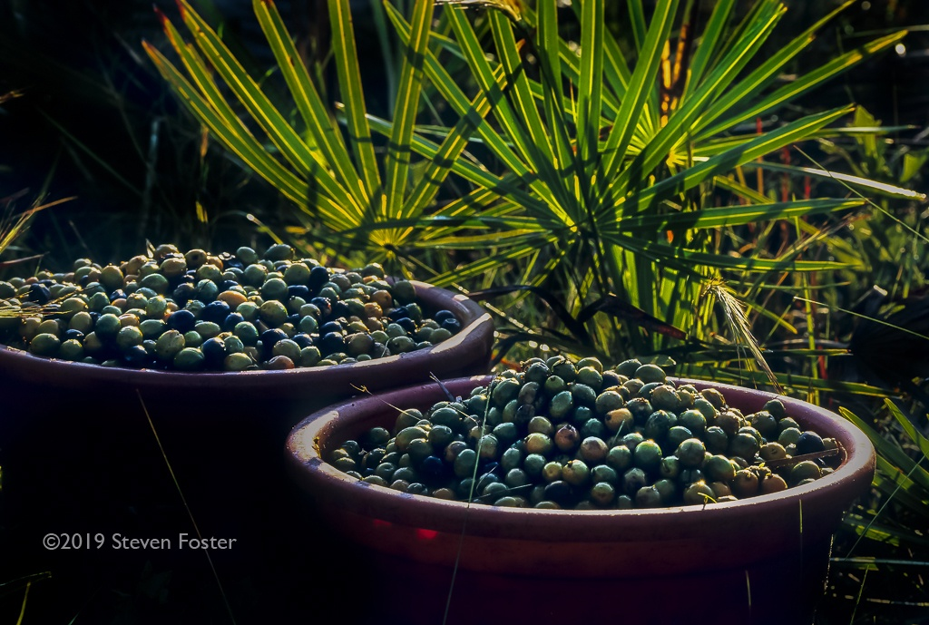 In this the first installment of a two part series, we will begin to explore the experience of human interaction with saw palmetto berries as food and medicine. Part two of the series will focus on the saw palmetto conservation conundrum from the 1990s to the present time.