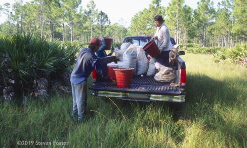 The first in a two-part series on the sustainability of the saw palmetto harvest.