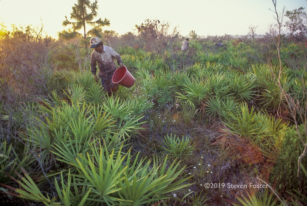 The hunt for ripe saw palmetto berries.