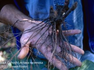 Black cohosh freshly harvested wild root.