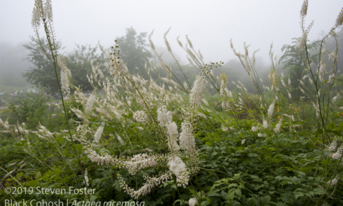 Black cohosh in commerce