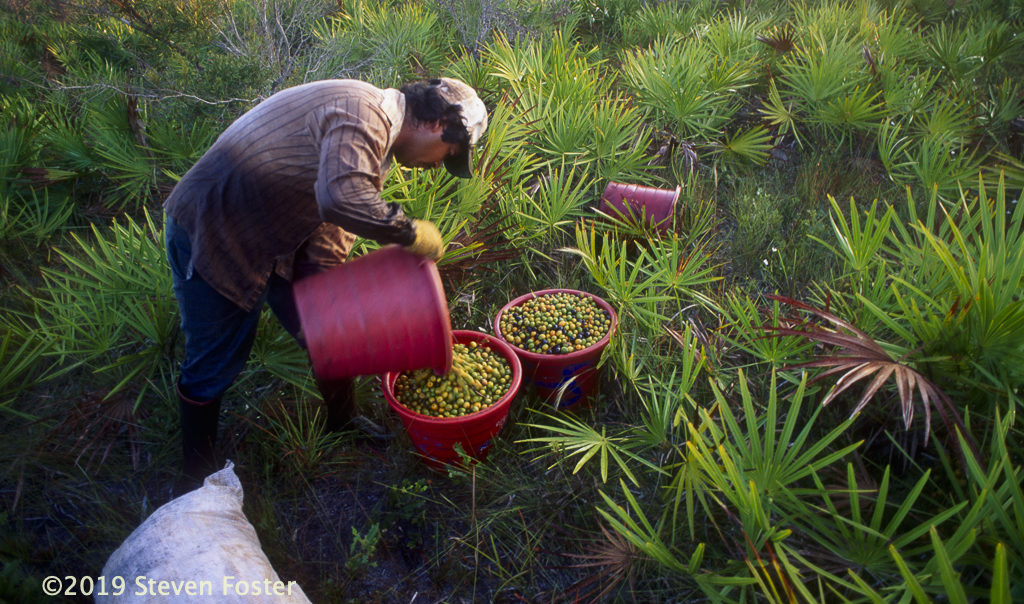 Saw palmetto, one of the most important North American medicinal plants, faces an uncertain future due to climate change, biodiversity loss, and trade fluctuations.
