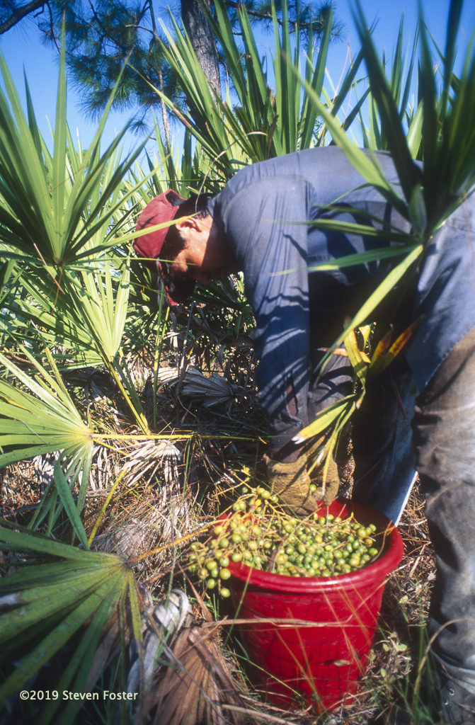 Filling a bucket of palmetto berries, a single picker may harvest a half-ton per day. Photo by Steven Foster.