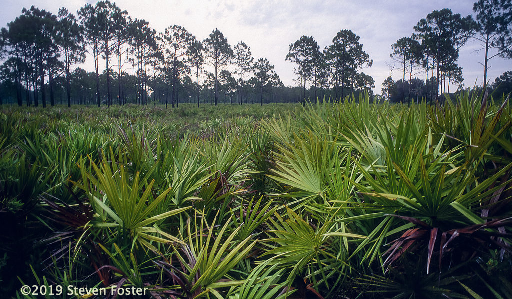 Typical saw palmetto-pine habitat common in Florida. Photo by Steven Foster.