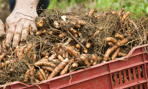 Turmeric root, Curcuma longa farming and harvest at Finca Luna Nueva in Costa Rica, a Demeter certified biodynamic farm. Rhizome production is achieved with no-till farming methods.