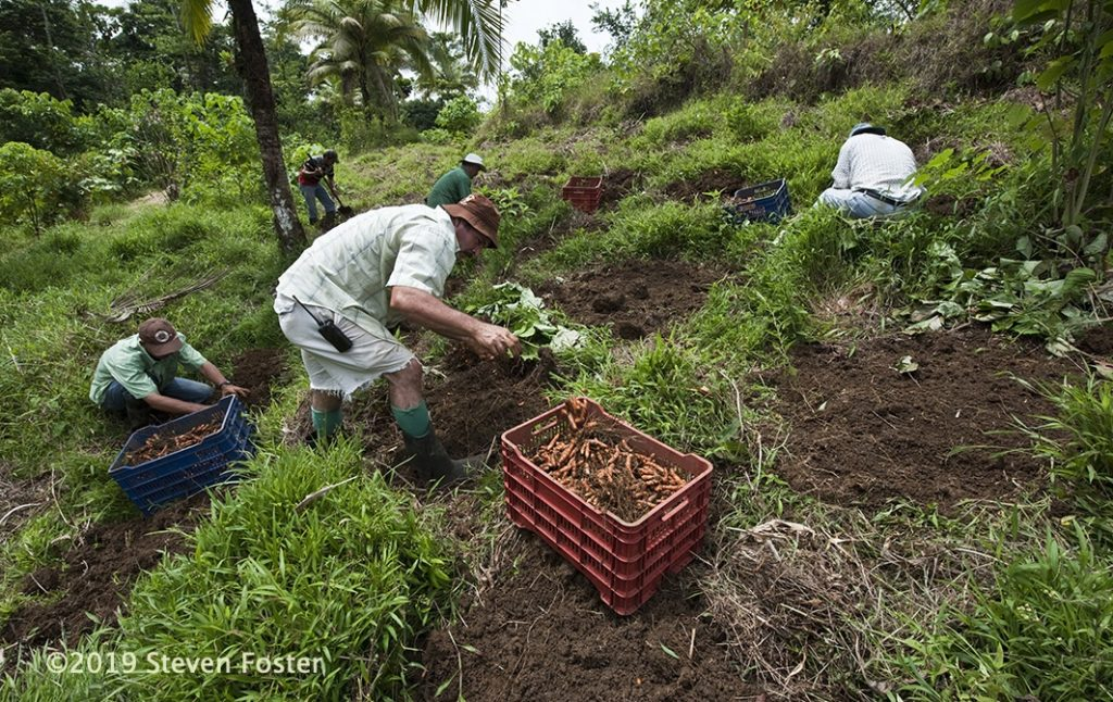 Turmeric root, Curcuma longa farming and harvest at Finca Luna Nueva in Costa Rica, a Demeter certified biodynamic farm. Rhizome production is achieved with no-till farming methods.