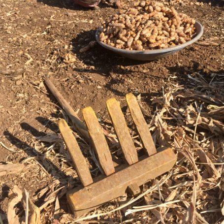 Turmeric Rake harvesting tool with separated prime turmeric fingers in background. Maharashtra, India Feb 2017. Photo by Bill Chioffi.