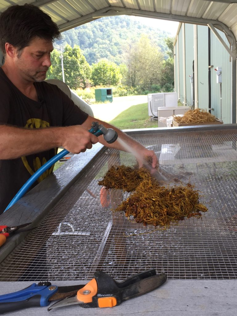 Cleaning forest grown goldenseal roots at the Appalachian Harvest Herb Hub.