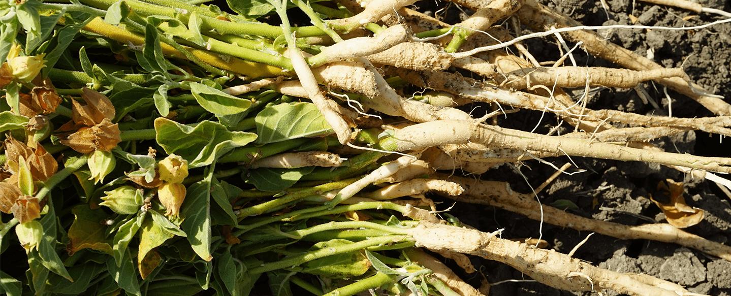 Fresh ashwagandha roots. Photo by Chris Kilham.