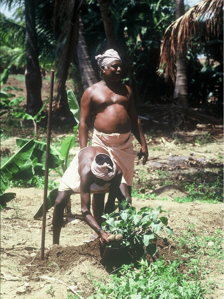 Ashwagandha harvest Eastern Ghats