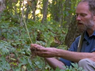Forest Farming: Blue Cohosh