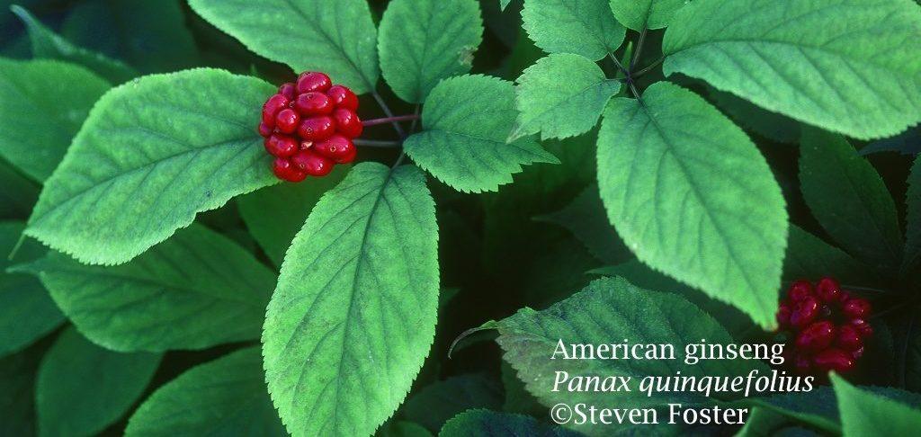 Ginseng: Forest Botanicals Week