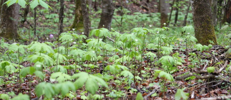 Forest farmed goldenseal. Photo by Katie Commender.