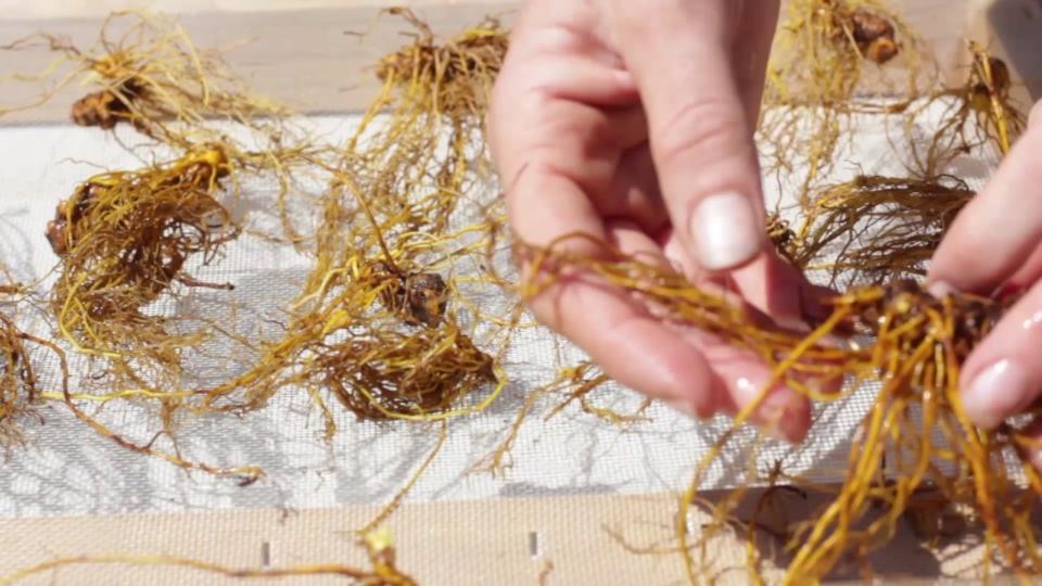 Washing and Drying Goldenseal