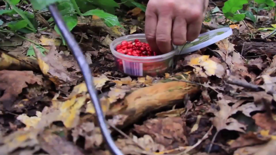 Sustainably Harvesting American Ginseng