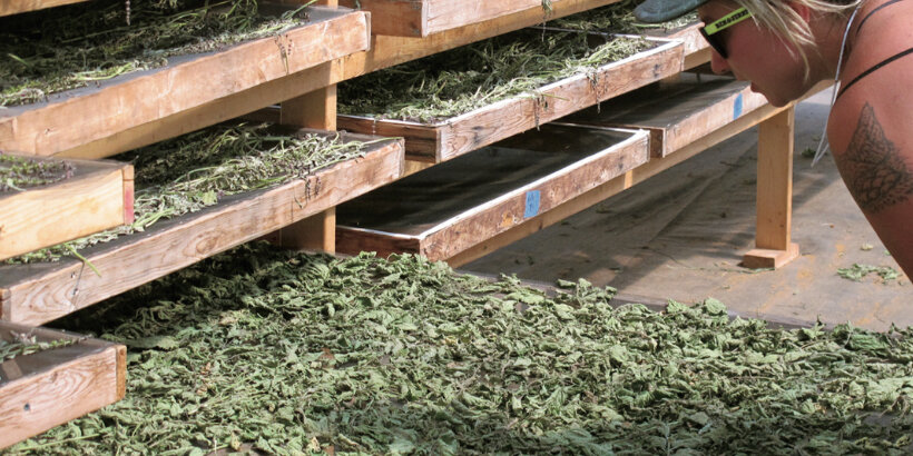 Are all cultivated herbs equal?