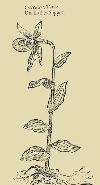 Lady's Slipper, 1597 Gerard's Herball
